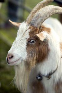 Friendly Goat Smiling